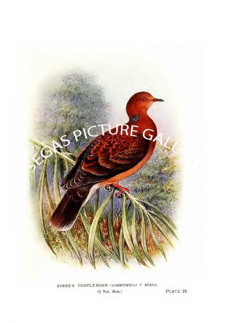Fine art Print of the Dove, Sykes's Turtle